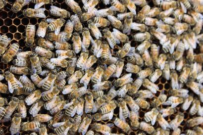 dp_bees